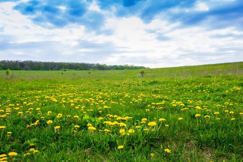 Paardebloemen op een groen gebied royalty-vrije stock afbeelding