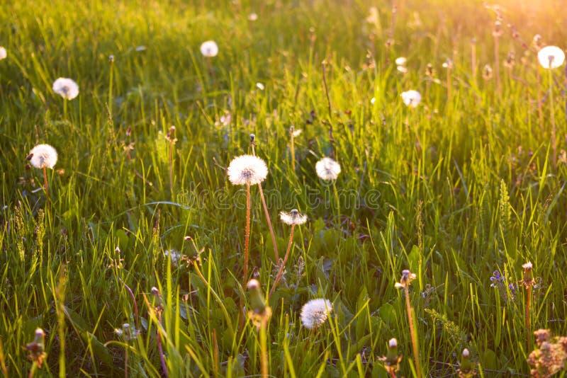Paardebloemen op het groene gras royalty-vrije stock afbeelding