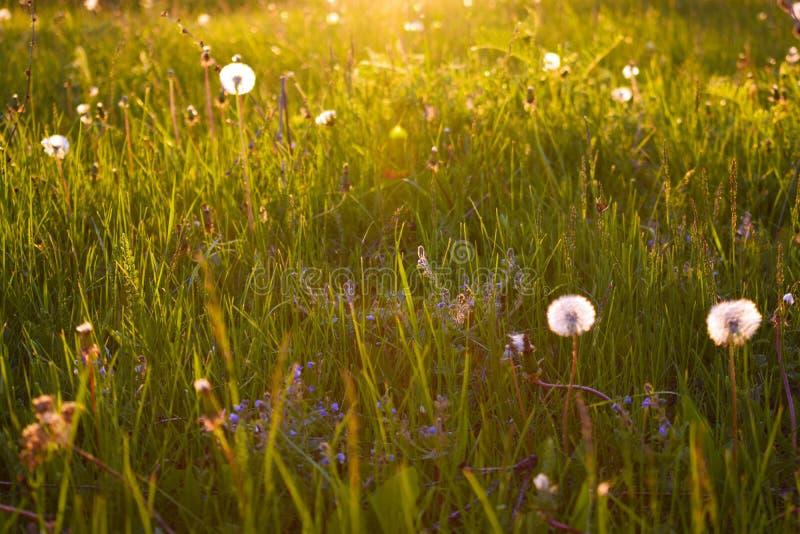 Paardebloemen op het groene gras stock afbeeldingen