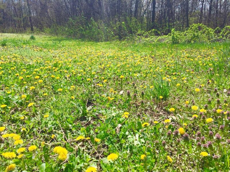 Paardebloemen op open gebied met bos op achtergrond royalty-vrije stock fotografie