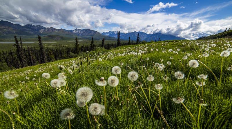 Paardebloemgebied in Alaska royalty-vrije stock fotografie