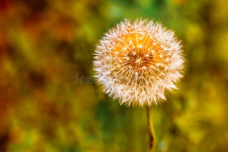Paardebloemklok met een oranje wilde die bloem achter oranje het maken van de klok wordt verborgen lijken stock foto