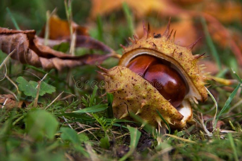 Paardekastanje in shell stock foto