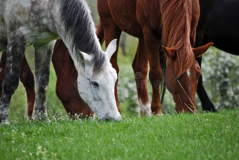 Paarden 3 stock fotografie