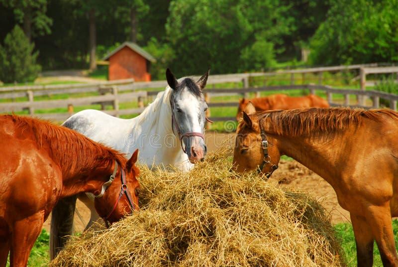 Paarden bij de boerderij stock afbeelding