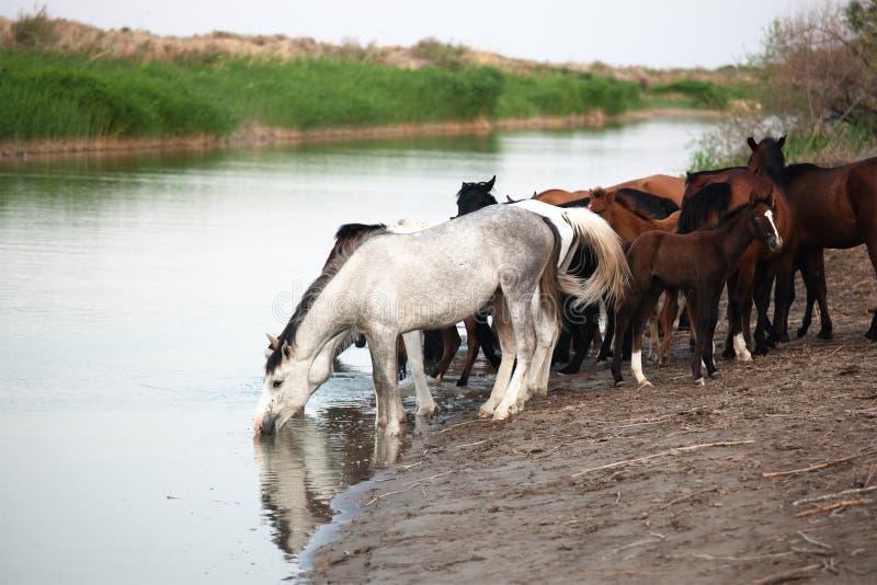 Paarden bij het Water geven stock afbeelding