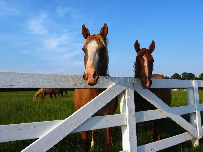 Paarden bij Omheining stock afbeeldingen