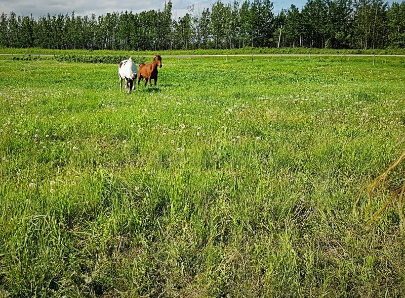 Paarden bij Weiland stock afbeelding