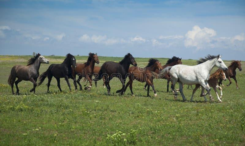 Paarden/blauw hemel en gras die lopen stock afbeelding