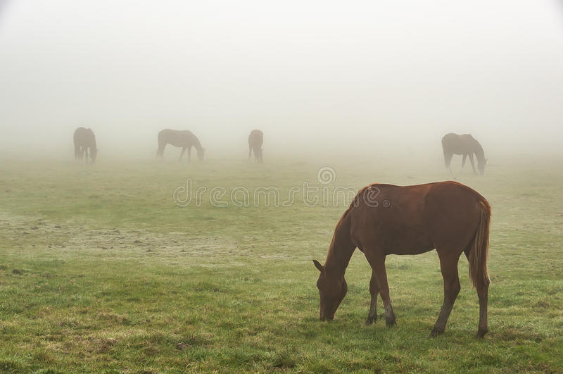 Paarden in de mist stock foto's