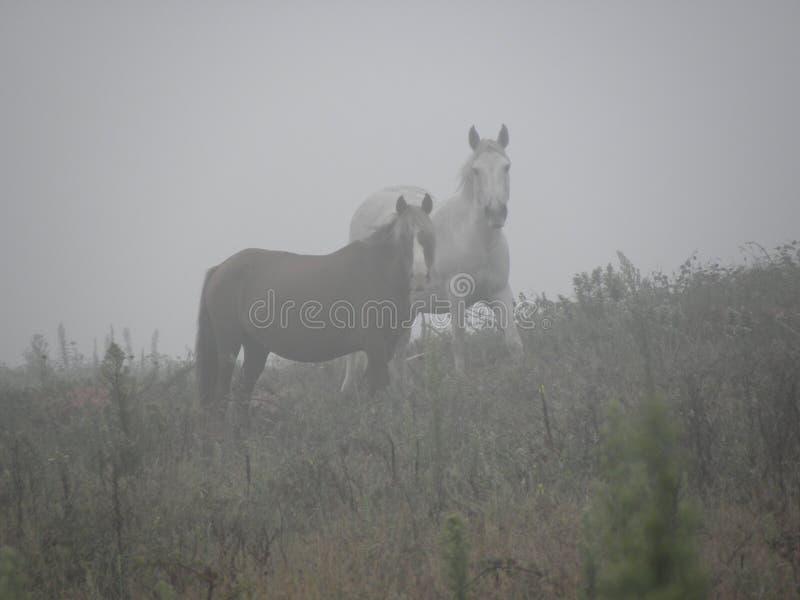 Paarden in de mist die ons kijken stock fotografie