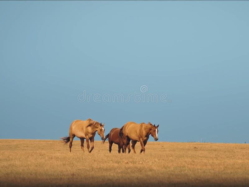 Paarden in de paarden steppe Een kleine kudde van paarden op een gebied stock foto