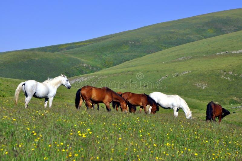Paarden in de weide stock afbeelding