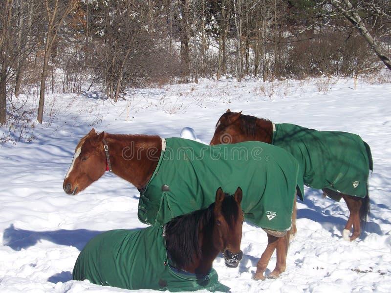 Paarden in de winter stock fotografie