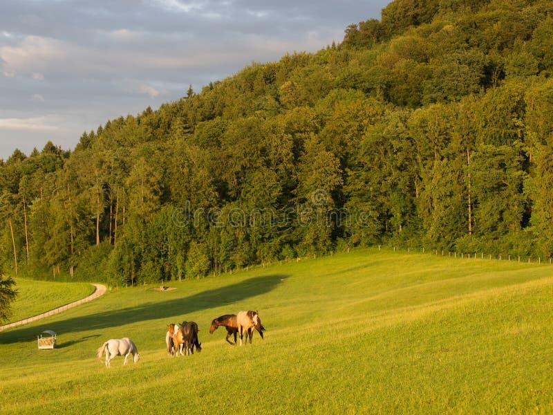 Paarden die in de Avond weiden stock fotografie