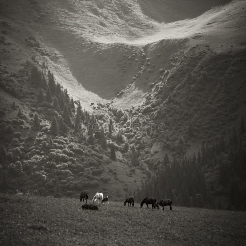 Paarden die in de bergen weiden royalty-vrije stock afbeelding