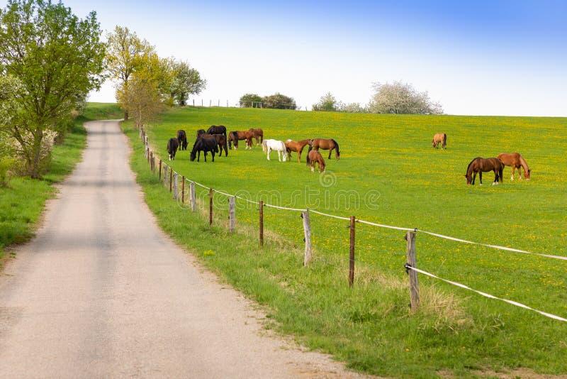 Paarden die de lentegras op een gebied van landbouwbedrijf eten stock afbeeldingen