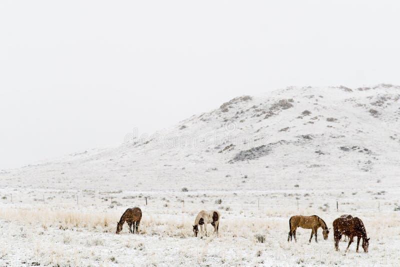 Paarden die in de rotsachtige bergen van Colorado van de de wintersneeuw weiden royalty-vrije stock foto's