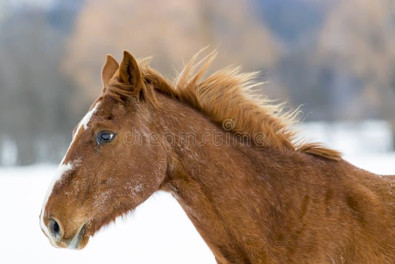 Paarden die in de sneeuw lopen royalty-vrije stock afbeelding