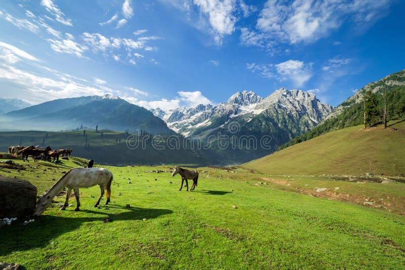 Paarden die in een de zomerweide weiden met groen Gebied stock fotografie