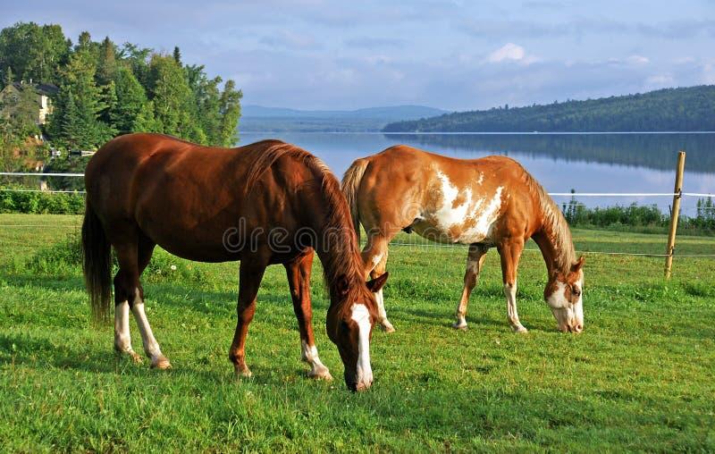 Paarden die in een weiland door de rivier weiden royalty-vrije stock afbeeldingen