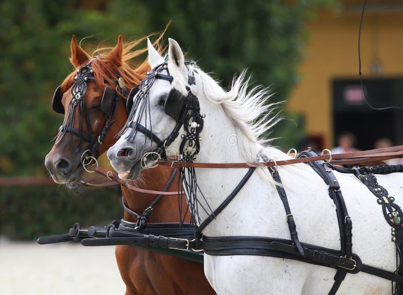 Paarden die in het mooie leer opsluiten galopperen royalty-vrije stock afbeelding