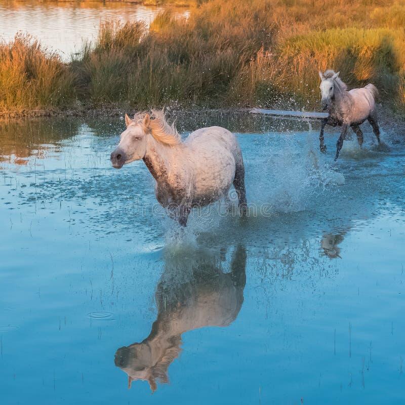 Paarden die in het water lopen stock foto's