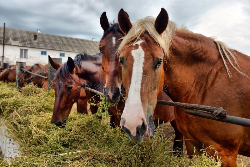Paarden die hooi eten royalty-vrije stock fotografie