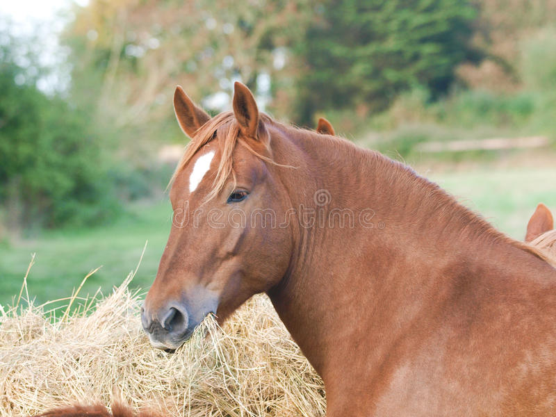 Paarden die Hooi eten royalty-vrije stock afbeelding