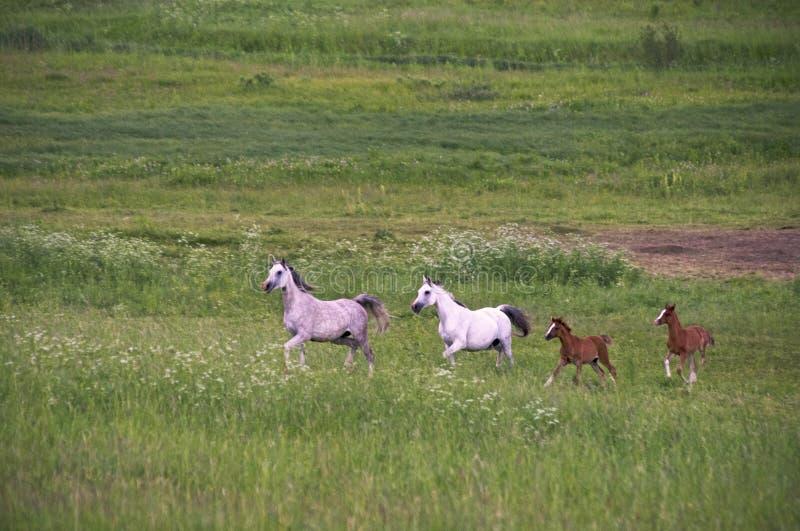 Paarden die op avondgebied lopen royalty-vrije stock foto's