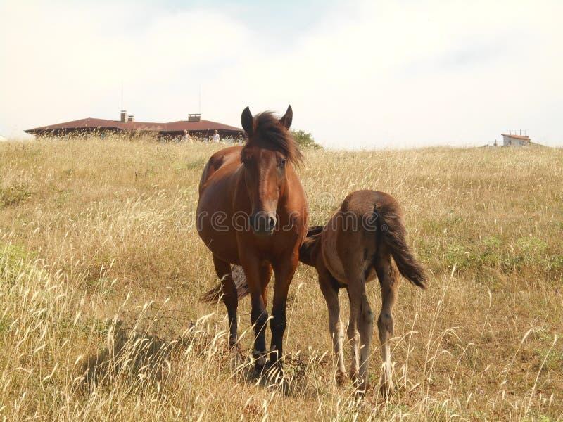 Paarden die op de steppe weiden Veulen met zijn moederpaard stock afbeeldingen