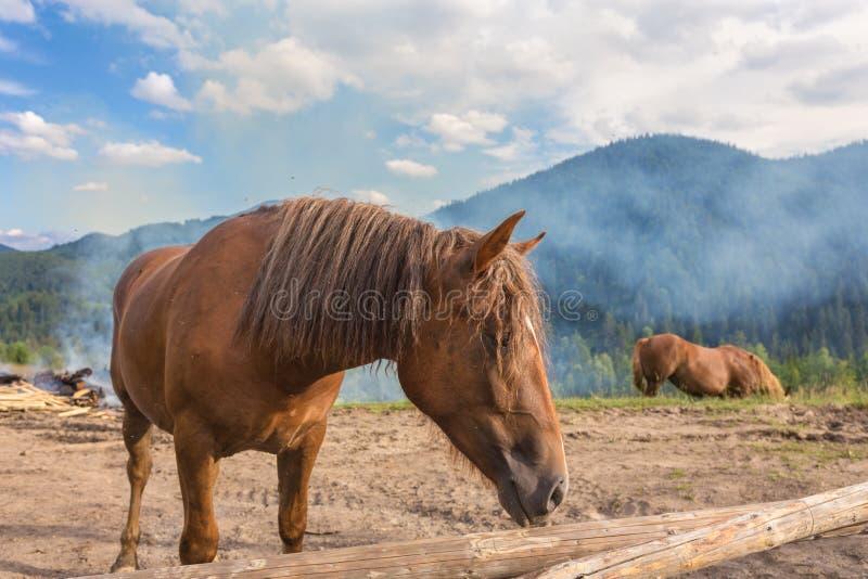 Paarden, die op gras bij hoogland Karpatisch weiland voeden stock fotografie