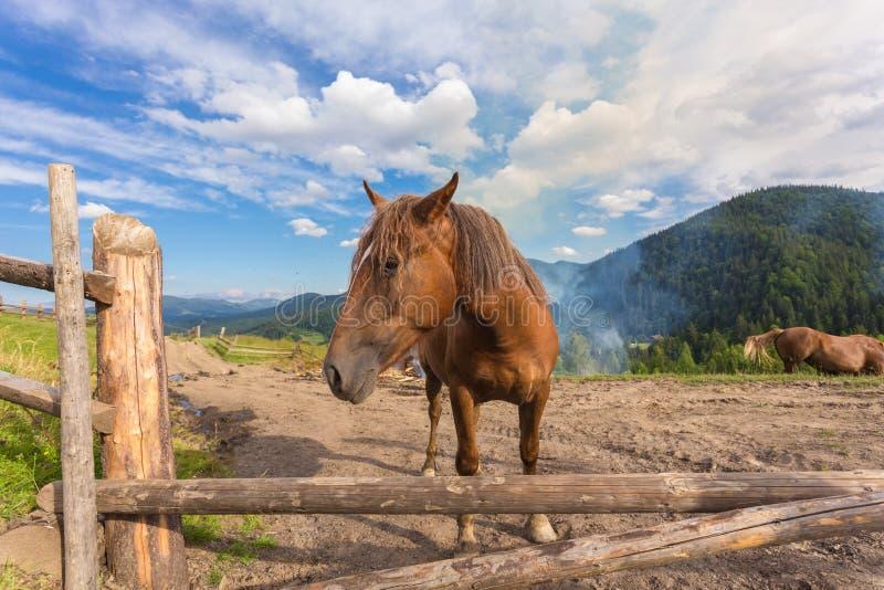 Paarden, die op gras bij hoogland Karpatisch weiland voeden royalty-vrije stock fotografie