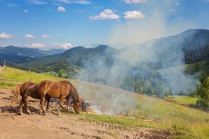 Paarden, die op gras bij hoogland Karpatisch weiland voeden stock afbeelding