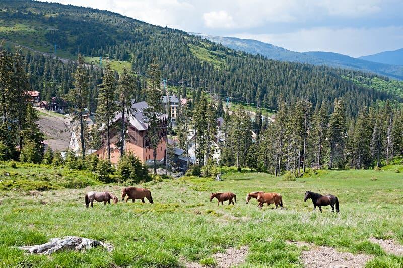 Paarden, die op gras bij hooglandweiland bij Karpatische Bergen voeden stock foto