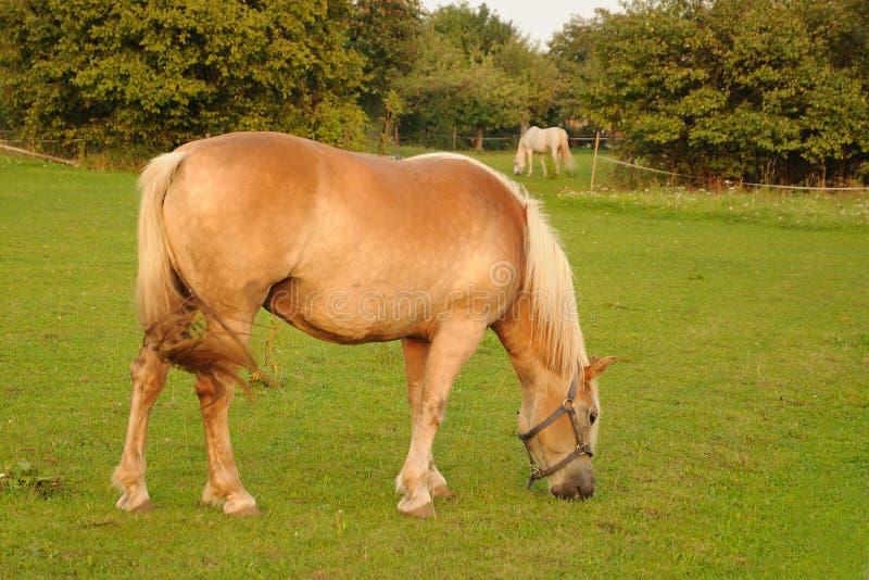 Paarden die op gras voeden royalty-vrije stock foto's