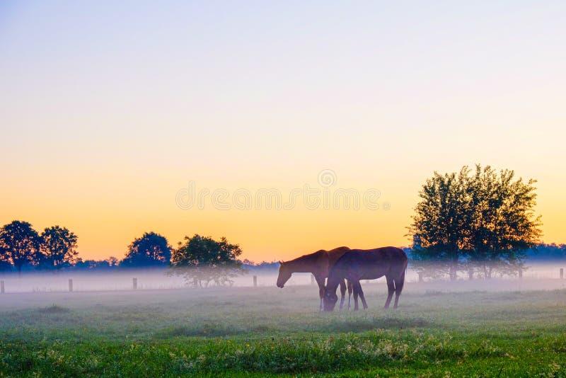 Paarden die op mistig grasgebied weiden stock foto's