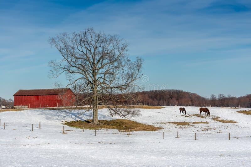 Paarden die in Sneeuw op een Landbouwbedrijf van Maryland weiden stock foto's