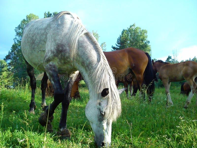 Paarden die 2 weiden stock foto's