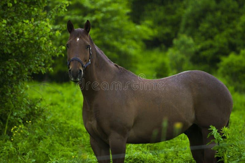 Paarden die zich in de regen bevinden stock afbeelding