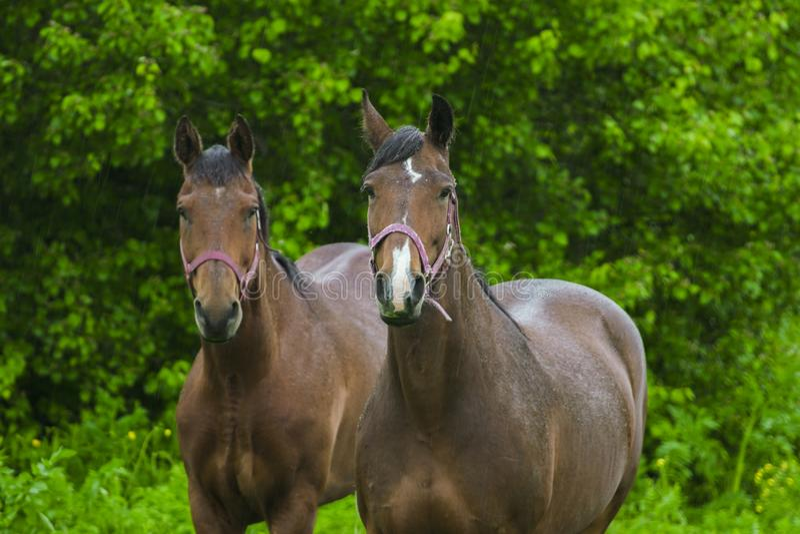 Paarden die zich in de regen bevinden stock foto's