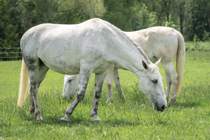 Paarden die zich op een gebied met groen gras bevinden stock afbeelding