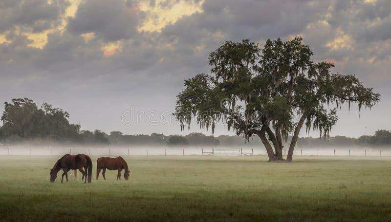 Paarden in een nevelige weide bij zonsopgang stock foto's