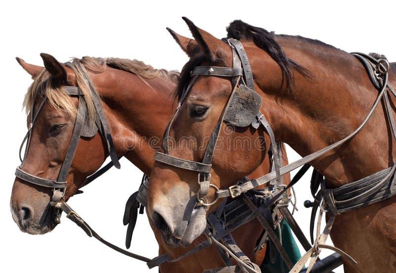 Paarden Een Witte Achtergrond Stock Foto's