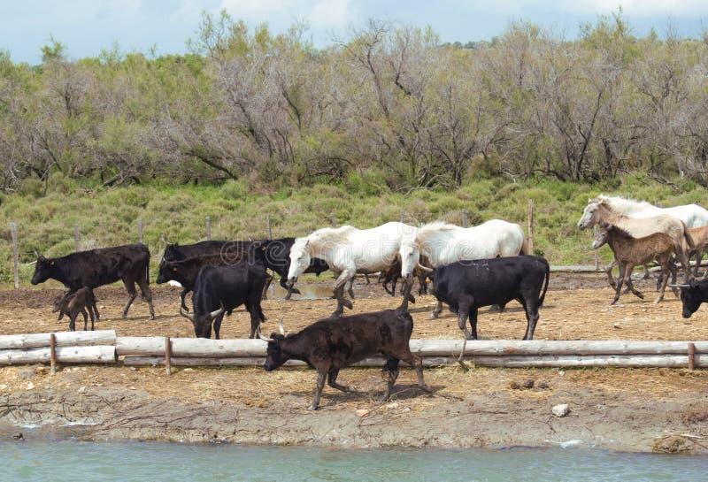 Paarden en stieren stock afbeelding