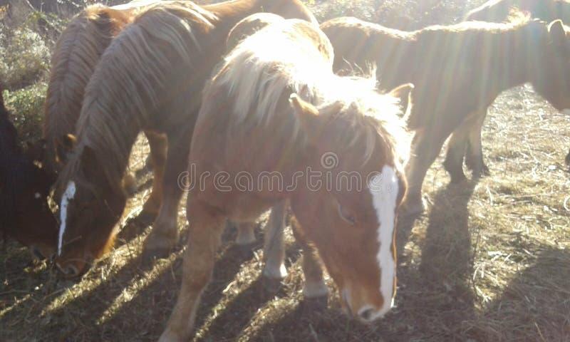 Paarden het eten royalty-vrije stock afbeelding