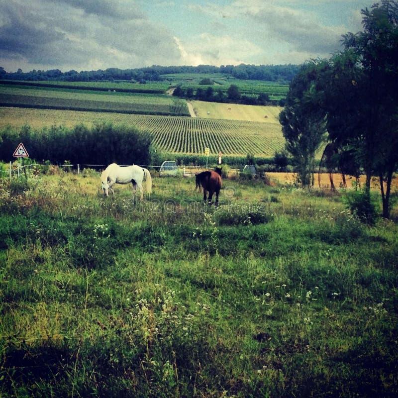 Paarden in het landbouwbedrijf stock afbeelding