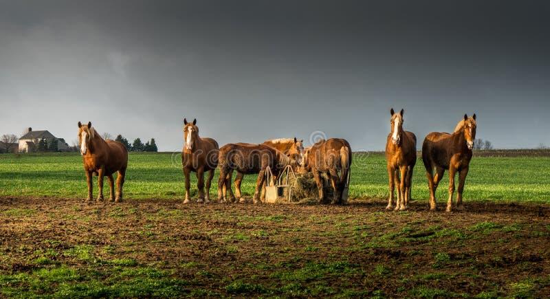 Paarden het Letten op royalty-vrije stock fotografie