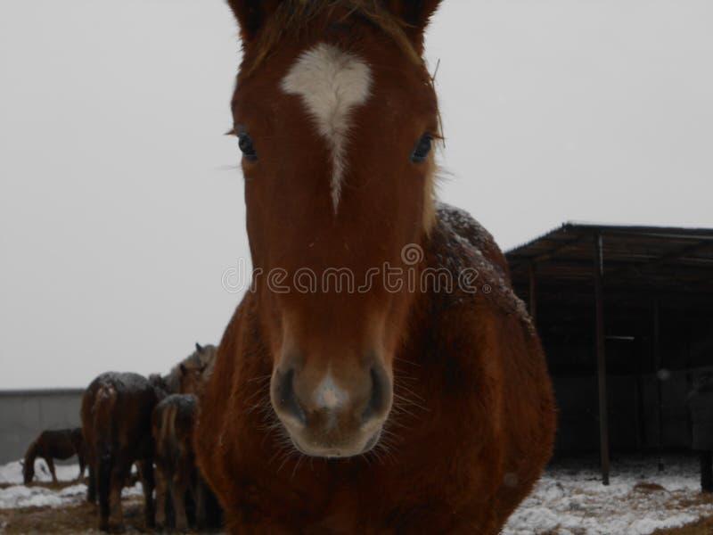 Paarden in het nest en op het blauw hemelplatteland naar de winter stock foto