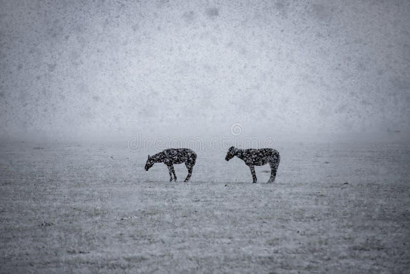Paarden in het snow-covered bergweiland onder dalende sneeuw De reis van Kyrgyzstan royalty-vrije stock afbeelding